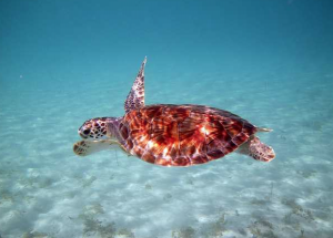 Trunk Bay turtle